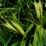 Pandanus Oil (Essential Oil)