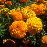 Tagetes Oil (Essential Oil)