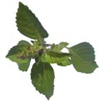 Basil Oil (Essential Oil)